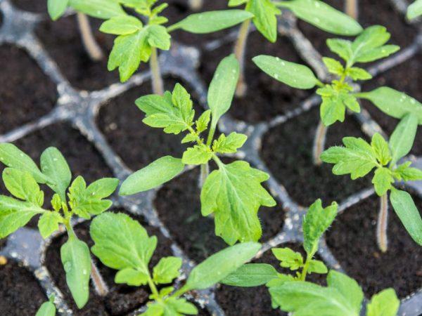 Правила посадки томатов в марте 2021