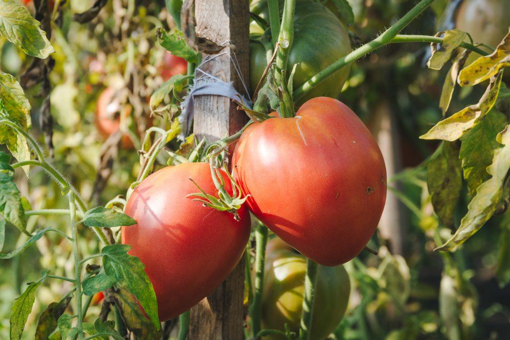 больше сорт розовый царь томатов фото мира моды утверждают