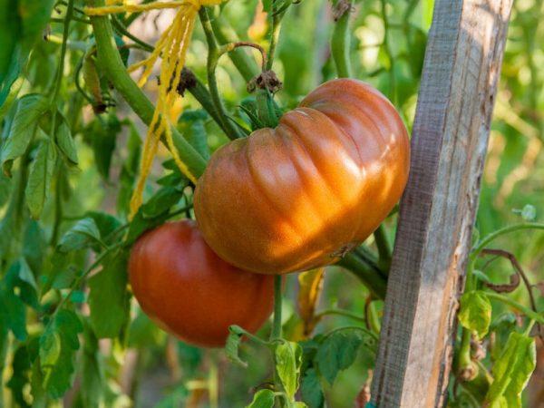 Плоды используют в свежем виде