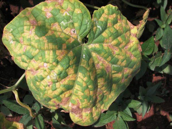 Причины возникновения ржавых пятен на листьях огурцов