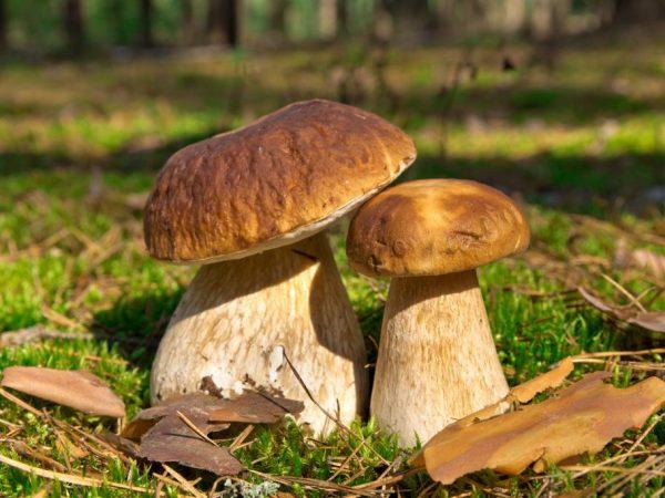 Сбор грибов в Самарской области в 2019 году
