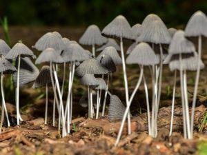 Характеристика грибов-сапрофитов