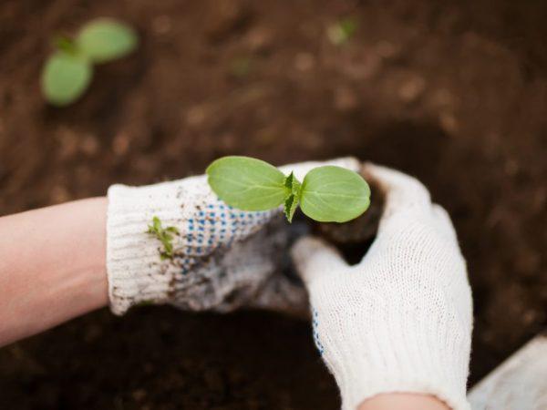 При появлении третьего листа рассаду можно высаживать
