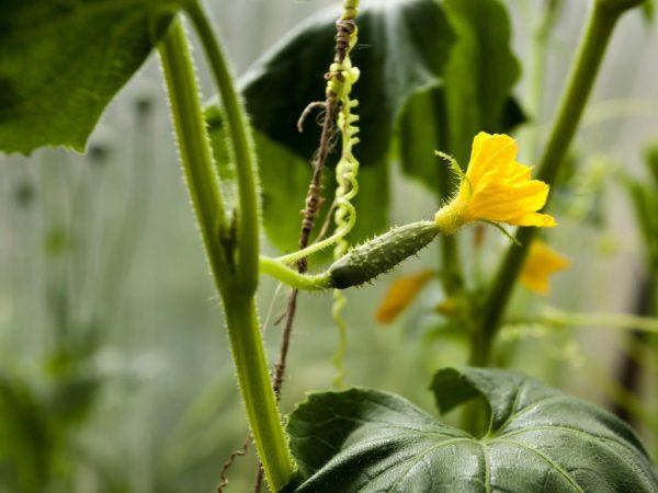 Рассадный способ посадки позволит получить ранний урожай