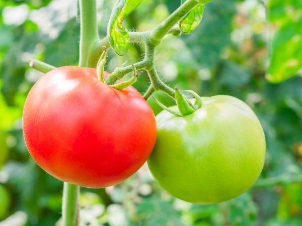 Сорт дает урожай при недостатке освещения