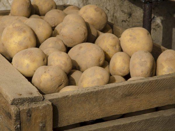 В промышленных масштабах затруднено хранение корнеплодов