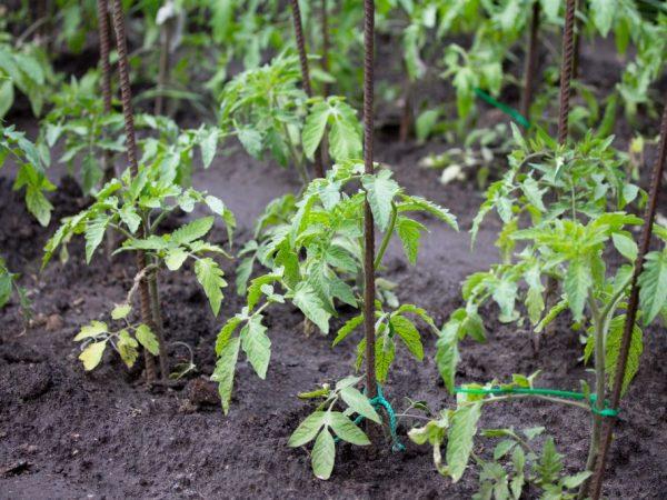 Растения могут заболеть от нехватки влаги