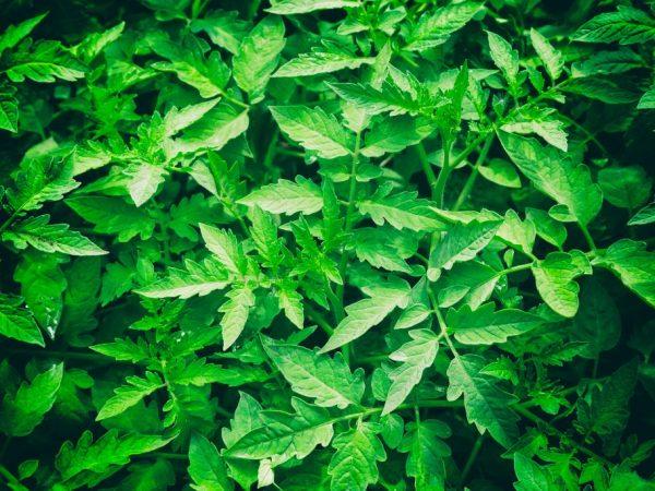Причины опадания листьев у рассады помидоров