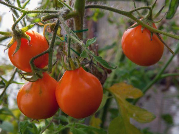 Выращивание томата Японский трюфель