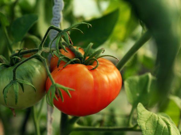 Выращивание томата Абаканский розовый