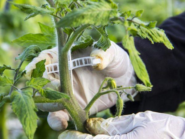 За томатами нужно хорошо ухаживать