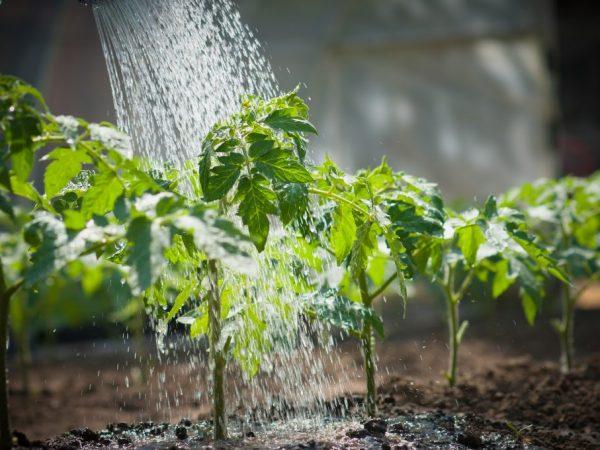 Растения поливают исключительно теплой водой