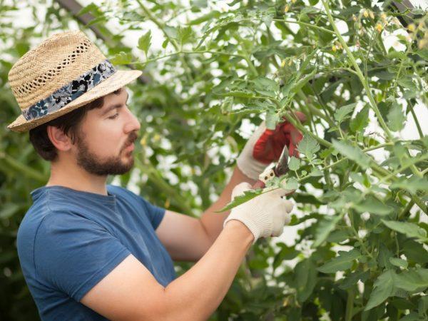 Высокорослые томаты нужно формировать в один стебель