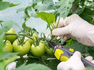 Правила пасынкования помидоров в теплице