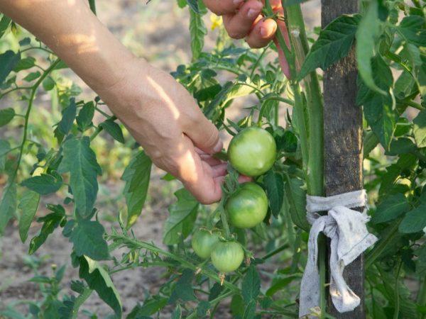 Хороший уход обеспечит вас богатым урожаем