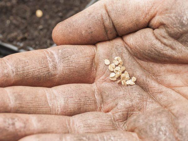 Семена необходимо обеззаразить