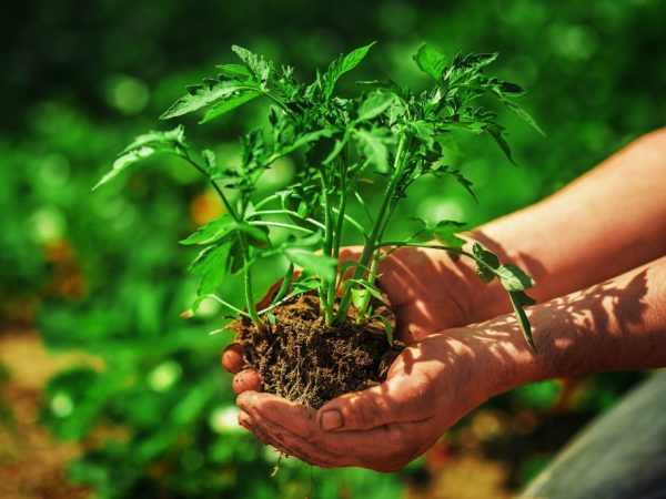В начале мая рассаду можно высаживать в грунт