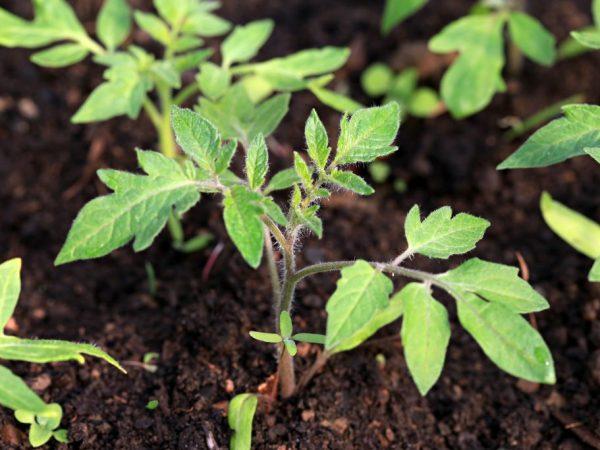 Высаживать рассаду в теплицы можно уже в апреле