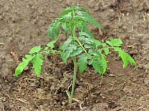 Выращивание томата Малиновый звон
