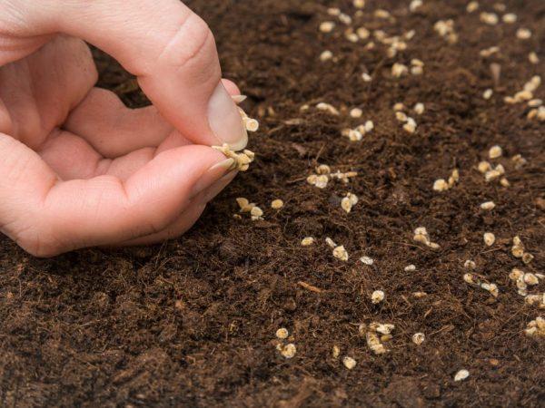 Семена прорастают через неделю