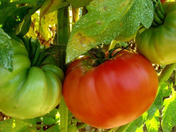 Плоды применяются для изготовления соусов и салатов