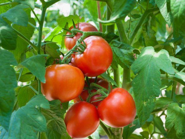 Плоды имеют отличные вкусовые качества