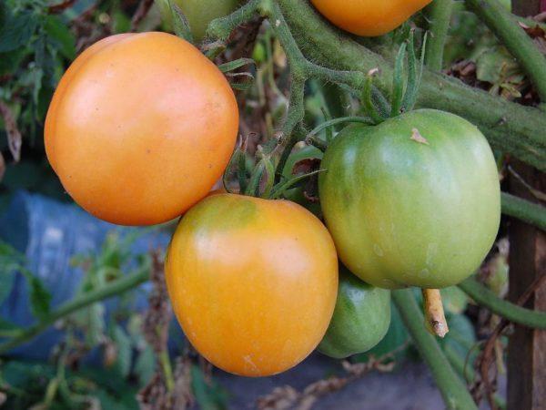 Спелые плоды долго хранятся в свежем виде