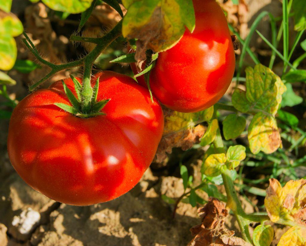 Томат Спецназ: отзывы, фото, урожайность, характеристика и описание