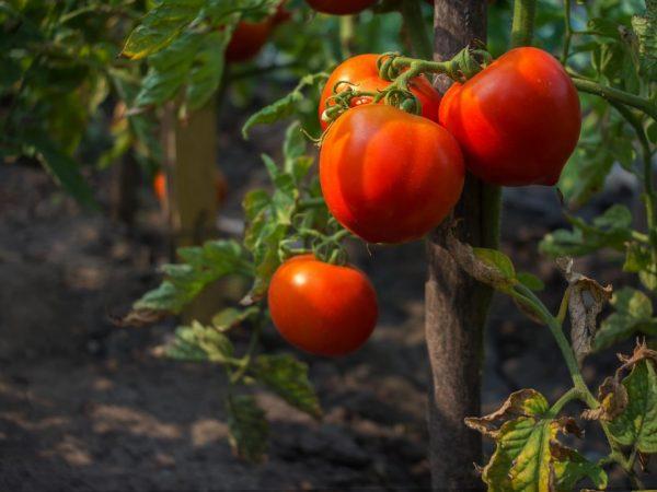 Регулярный полив необходим помидорам