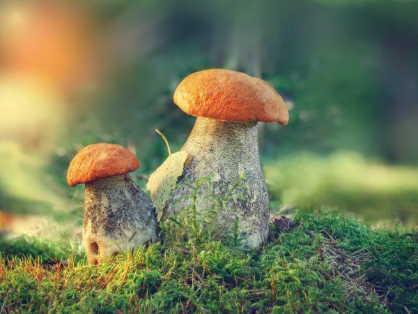 Сбор грибов в Нижегородской области в 2019 году