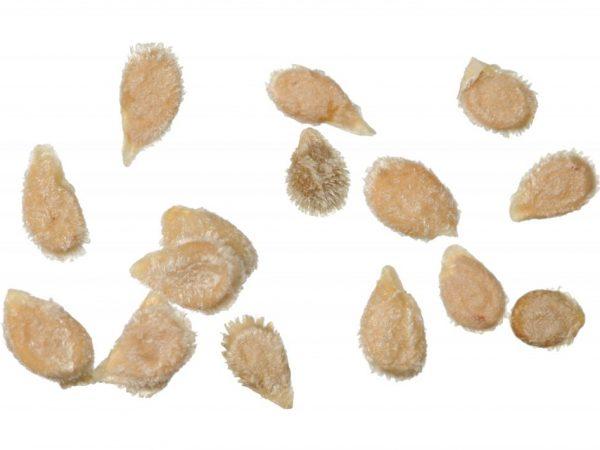 Семена нужно обеззаразить