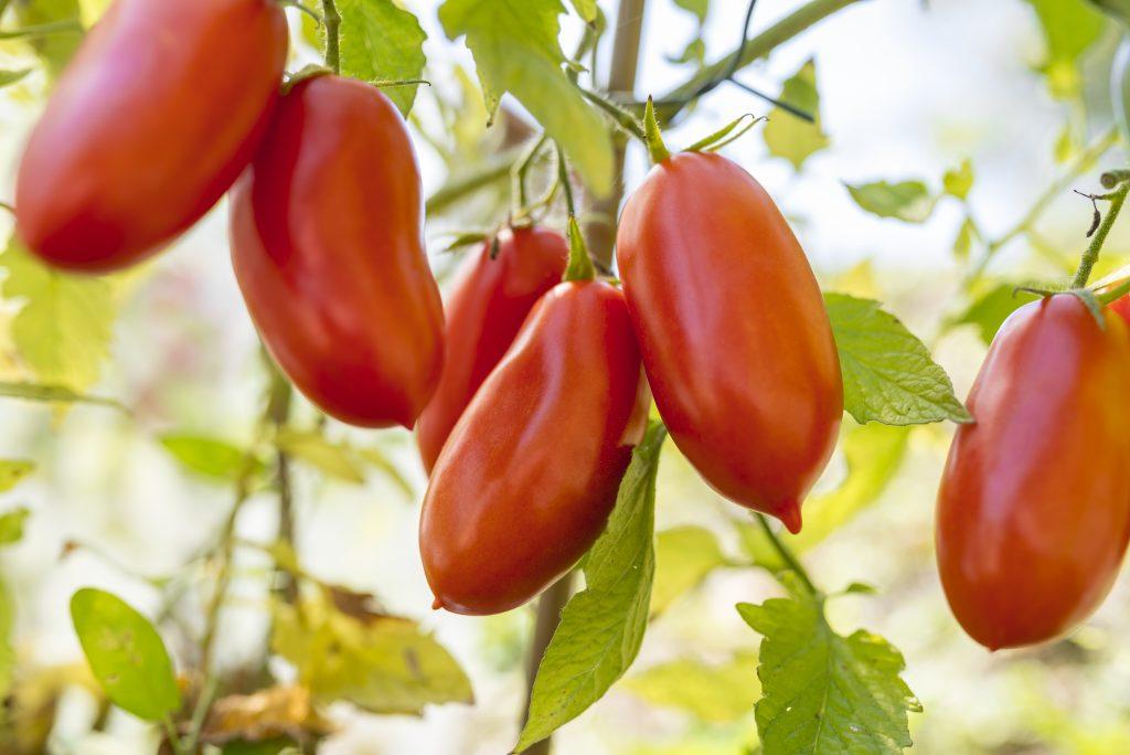 Томат Каспар: характеристика и описание сорта, урожайность фото отзывы