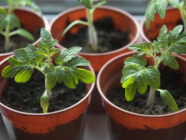 Рассаду следует высаживать в прогретую почву