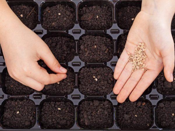 Семена перед посадкой нужно продезинфицировать