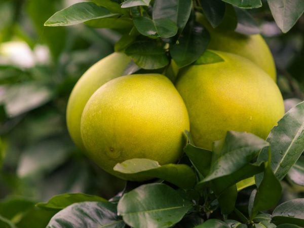 Спелый фрукт источает приятный аромат