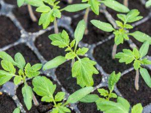 Сроки посадки томатов в марте