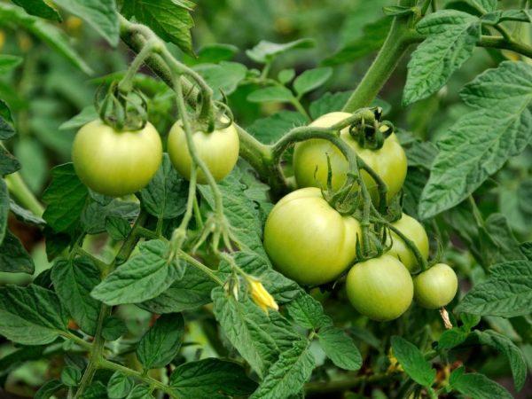 Сорт желательно выращивать в открытом грунте
