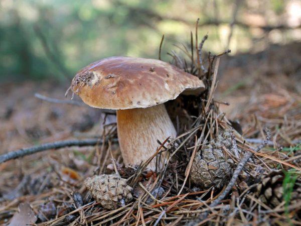 Разновидности грибов Ставропольского края