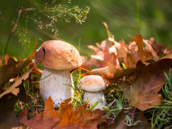 Сбор грибов в Челябинской области на 2019