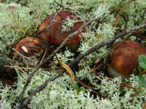 Сбор грибов в Орловской области