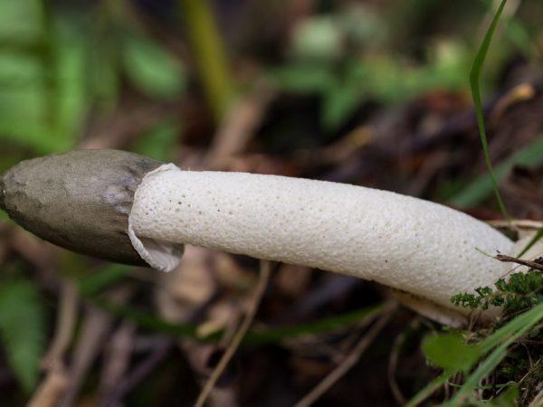 Места произрастания гриба веселки в России