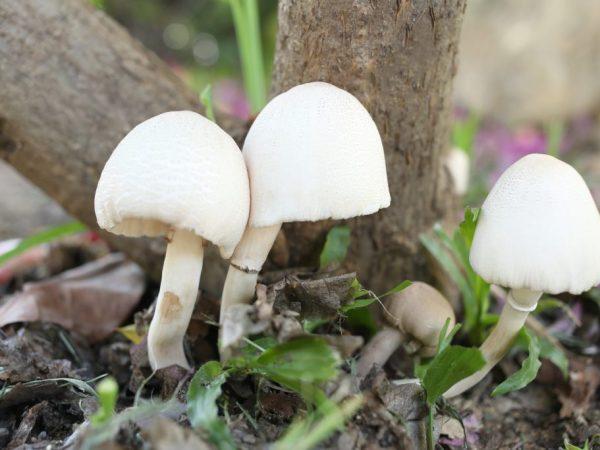 Ядовитые грибы имеют сходство со съедобными
