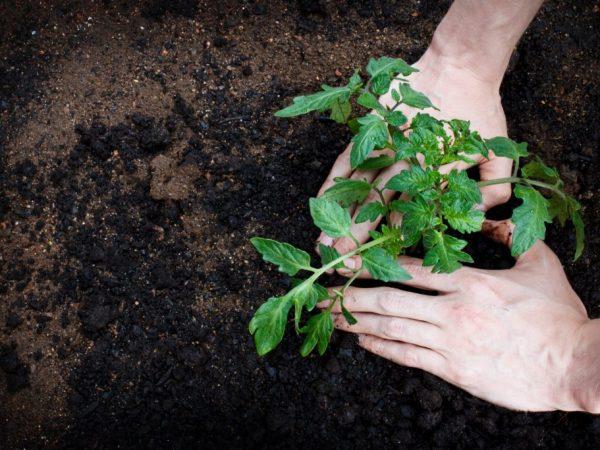 В мае можно высаживать рассаду в грунт