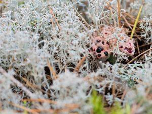 Кровавый Зуб: необычный представитель грибного царства
