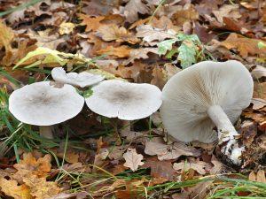 Белая рядовка: как отличить от съедобных грибов
