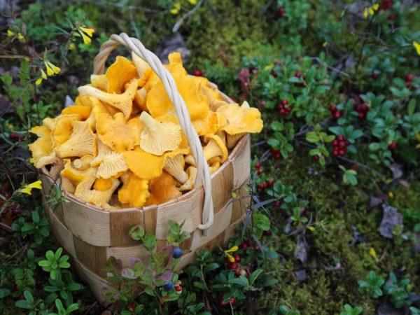 Сбор грибов в 2019 году — чем богата Кировская область