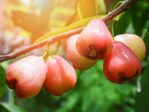 Яблоня Бела роза — один из самых красивых и необычных сортов