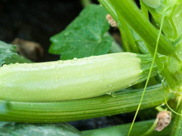 Ранние сорта дают урожай через месяц после высаживания