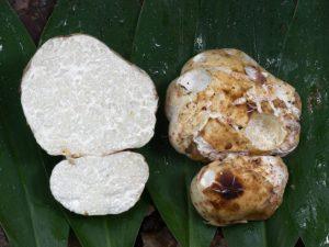 Белый трюфель — самый дорогой деликатесный гриб