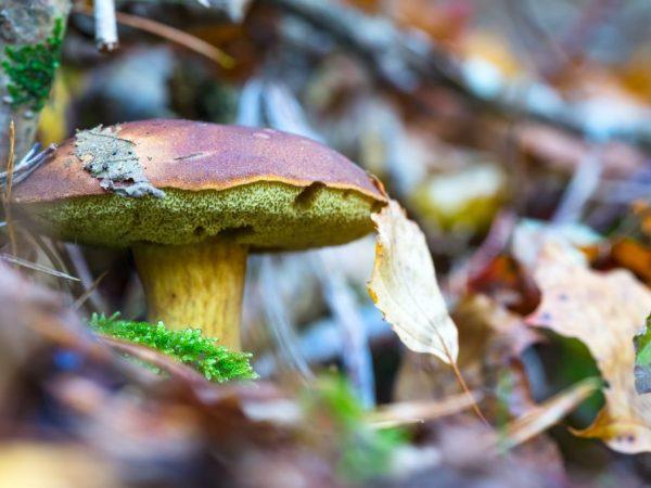 Черноголовик — как выглядит гриб, его свойства